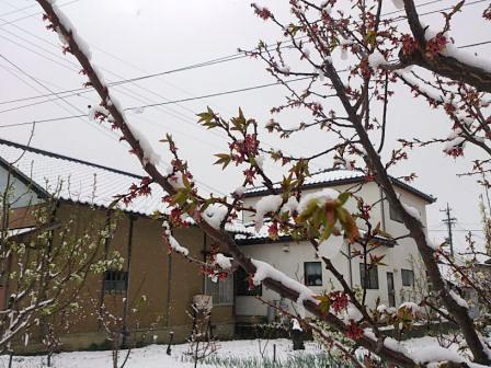 雪の積もったあんずの木